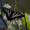 Zebra Swallowtail Butterfly, (Protographium marcellus)