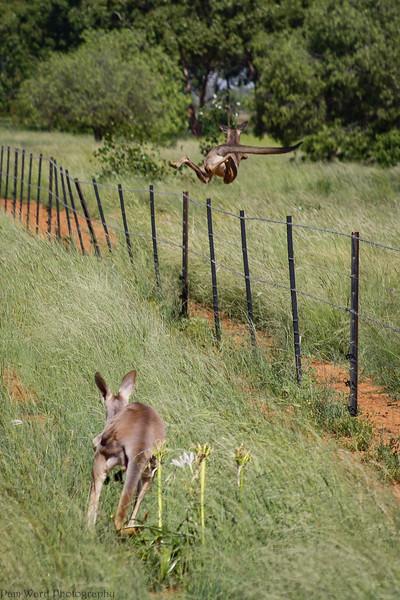 Flying Kangaroo