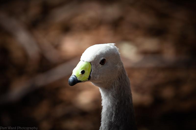 Cape Baron Goose