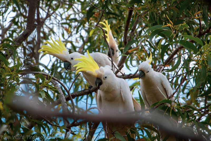 Sulphur Crested Cockatoo's