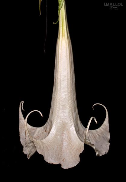 White Devil's trumpet