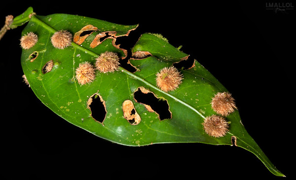 Galls on leaf