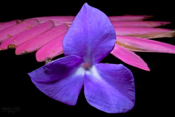 Pink quill (Tillandsia cyanea)
