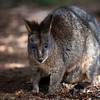Paddy Melon Wallaby