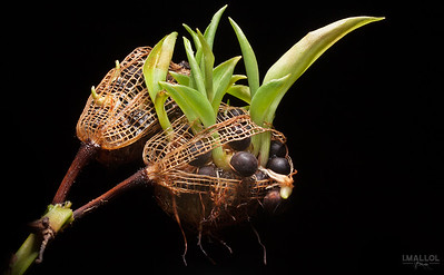 Seedlings sprouting while been attached to their mother (Canna indica)
