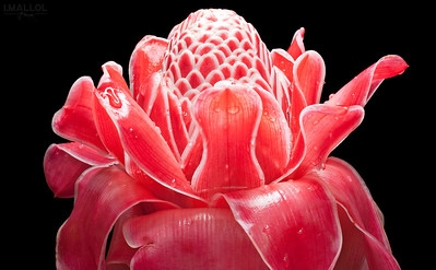 Torch ginger wax flower (Etlingera elatior)
