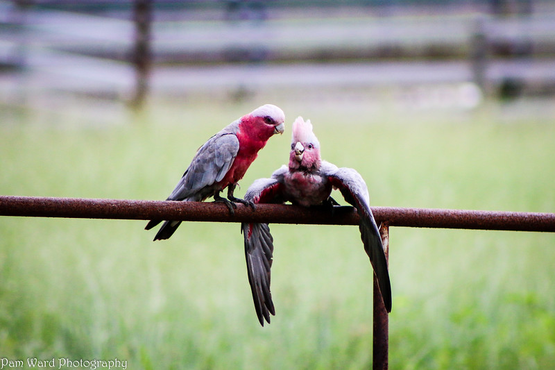 Pink Galah and Baby