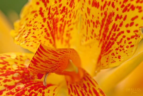 Inside the Canna flower