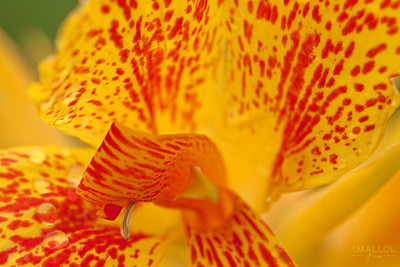 Inside the Canna flower