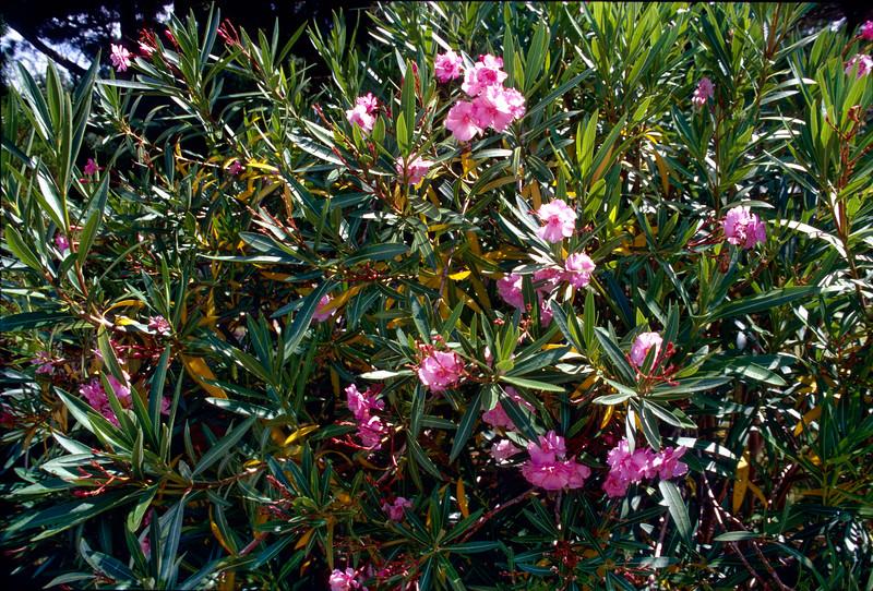 Spring Flowers on Ocracoke