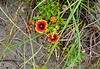 Dune  Flowers - North End on Ocracoke Island