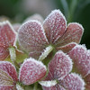 Frosty pink leaves
