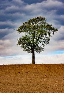 Solitary tree, Denmark, 'dehaze' exeriment.