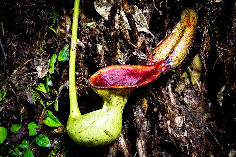 Nepenthes lowii uses its 'toilet' pitchers to collect mammal and bird poop as a source of nutrients