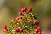 Plants, botany, rose hips