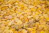 Autumn, fall, maple leaves