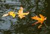 Plants, botany, maple leaf