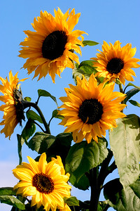Sunflowers_8465