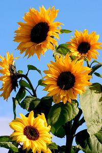 Sunflowers_8465