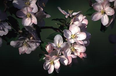 blossum copy