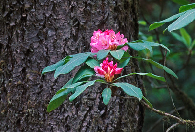 flowers-rhododendren 30