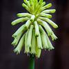 Veltheimia (So. African bulb)