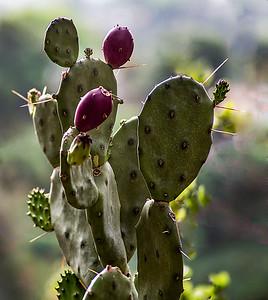 Opunta  species