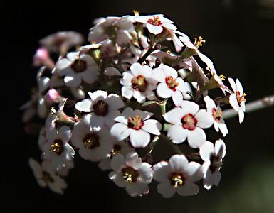 Euphorbia species