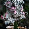 Euphorbia lactea crest (Ghost)