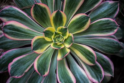 Aeonium variagata