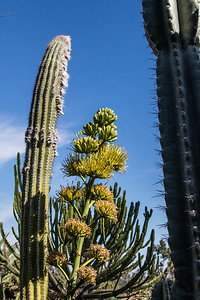 Agave blossom
