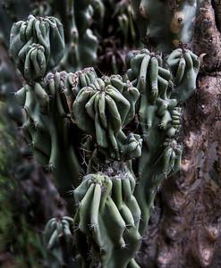 Cereus peruviana monstrose