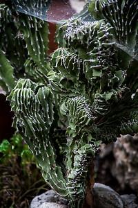 Euphorbia crest