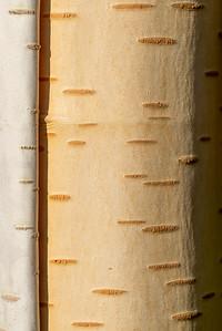 Birch bark - back garden