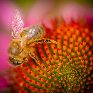 Honeybee on Echinacea - back garden