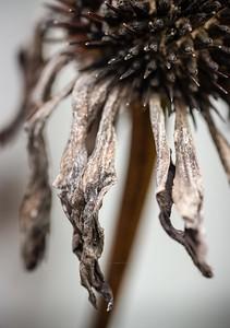 Echinacea - back garden