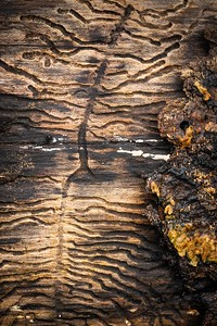 Ivy root traces, log pile - Upper Barn Copse