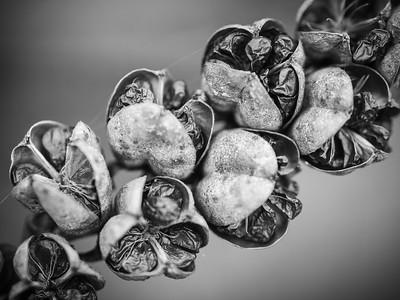 Crocosmia seed head - back garden