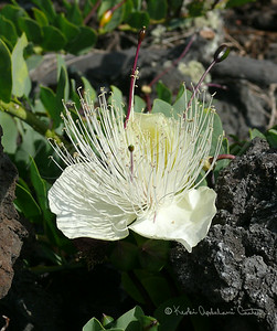 Maiapilo flower 3
