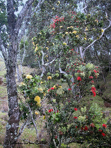 Ohia Lehua Forest on the island of Hawaii. This pioneer tree of the lava takes on many shapes and colors, which we are so fortunate to see on this island.