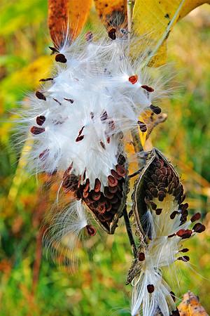 Milkweed seeds in bloom