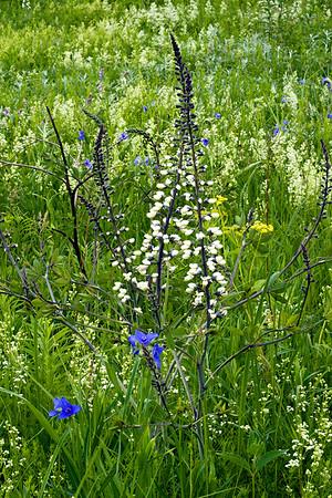 White Wild Indigo and Blue Spiderwort