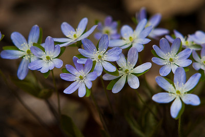 Spring begins.  A Crowd of Hepatica