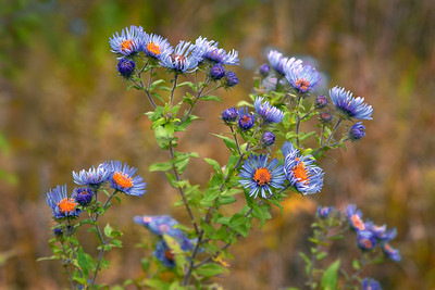 Asters of the prairie