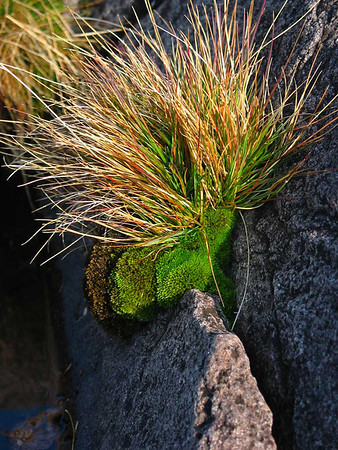 Shore moss - Lake Superior