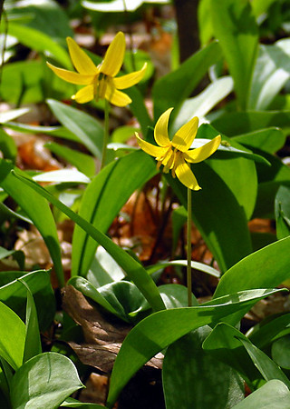 Yellow Trout Lily-2