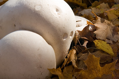 Giant puffball mushrooms