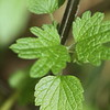 Motherwort (Leonurus cardiac)  base leaves