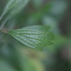 Motherwort (Leonurus cardiac)  top leaves