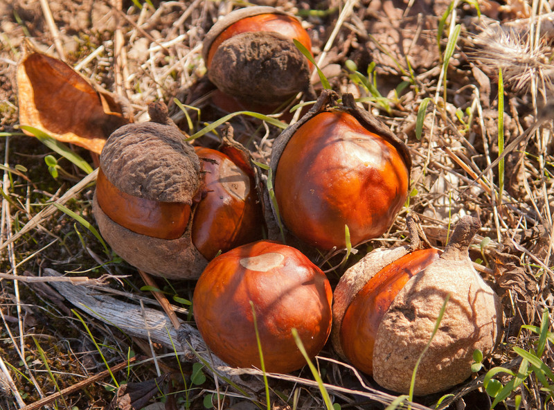 California buckeye fruit on the ground, late November.